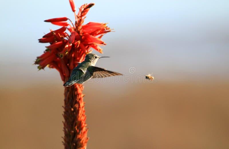 Kolibrie en bij royalty-vrije stock fotografie