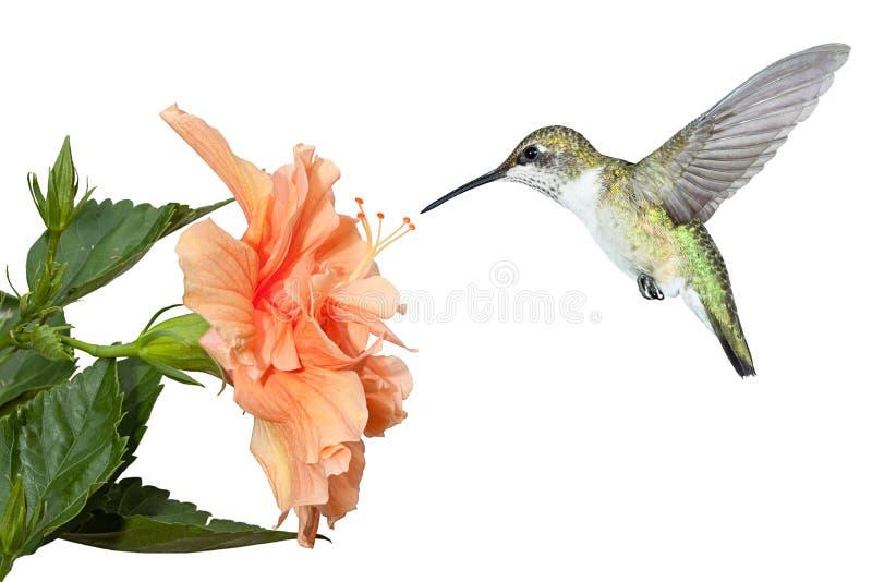 Kolibrie en Hibiscus stock afbeelding