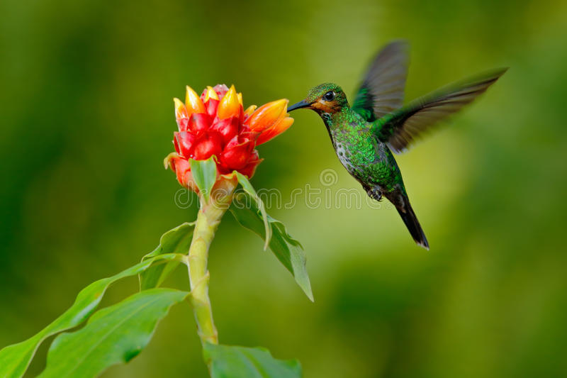 Kolibrie groen-Bekroonde Briljant, Heliodoxa-jacula, groene vogel van Costa Rica die naast mooie rode bloem met duidelijke B vlie stock fotografie