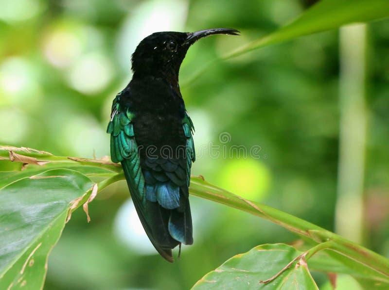 Kolibrie in Guadeloupe royalty-vrije stock foto's