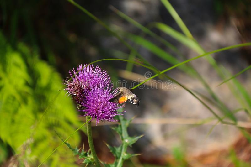 Kolibrie havik-MothScientific naam: Macroglossumstellatarum royalty-vrije stock foto