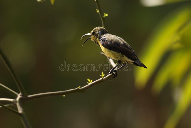 Kolibrie in het aard en het zingen lied aan vraag anderen stock foto's