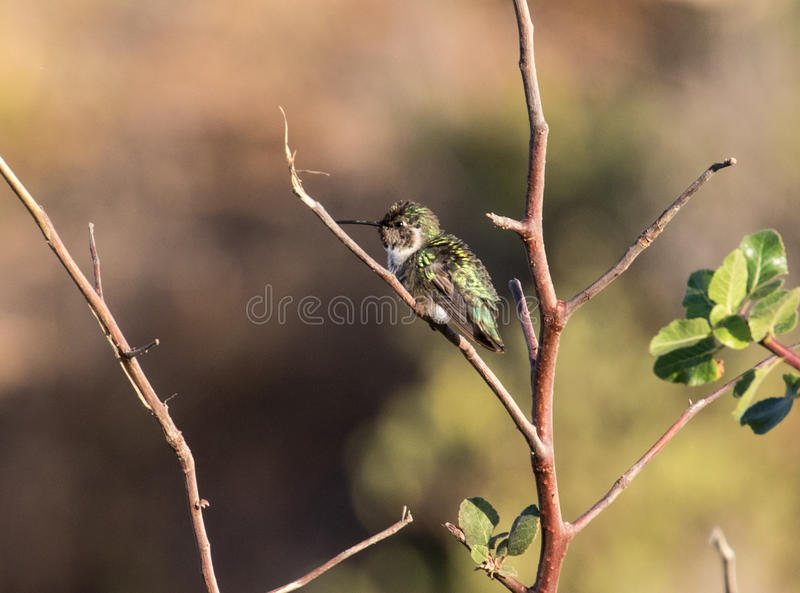 Kolibrie het Rusten royalty-vrije stock fotografie