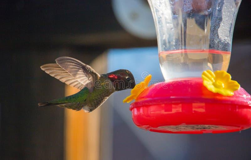 Kolibrie het Vroege Voeden royalty-vrije stock foto