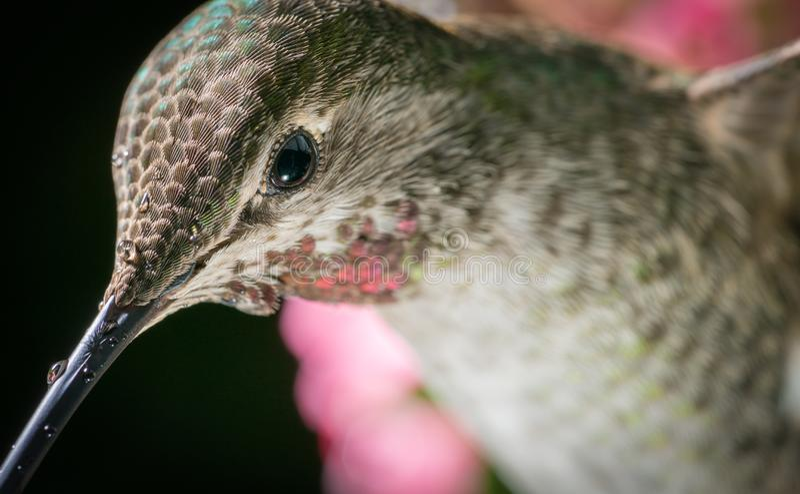 Kolibrie hoofdschot stock afbeeldingen