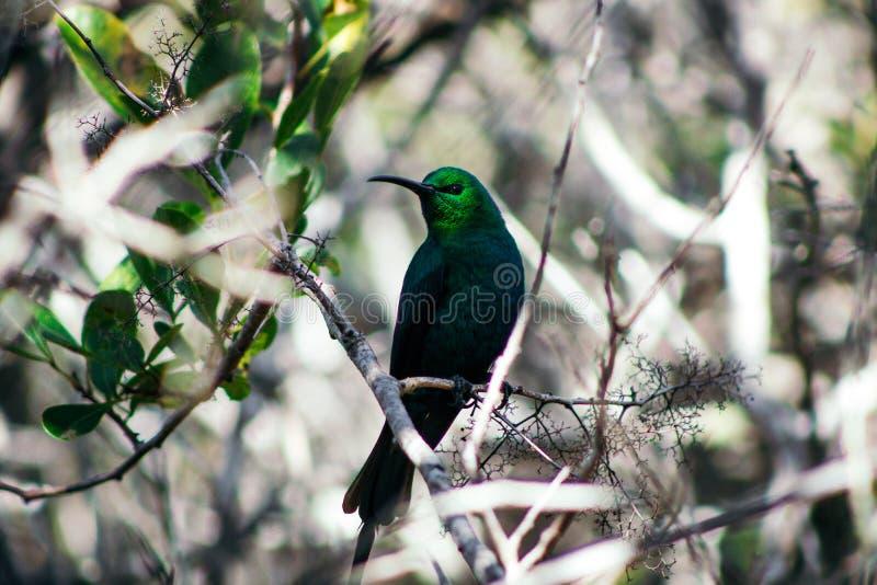 Kolibrie met heldergroene kleuren die op een tak zitten royalty-vrije stock afbeeldingen