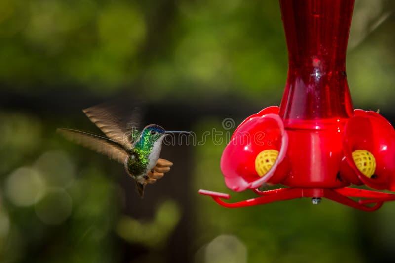 Kolibrie met uitgestrekte vleugels, tropisch bos die, Peru, vogel naast rode voeder met suikerwater hangen, tuin stock afbeeldingen