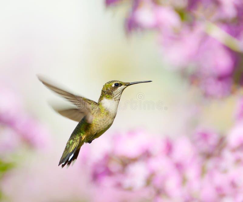 Kolibrie in motie. stock foto