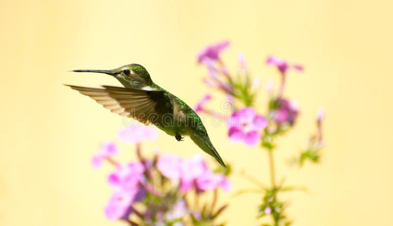 Kolibrie in motie. stock afbeelding