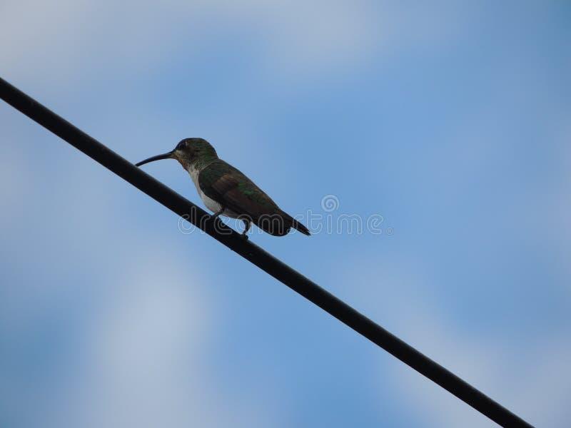 Kolibrie op een koord wordt overgegaan die over stock foto