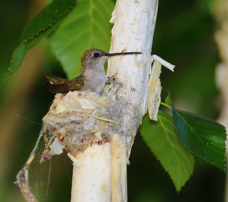 Kolibrie op nest royalty-vrije stock fotografie