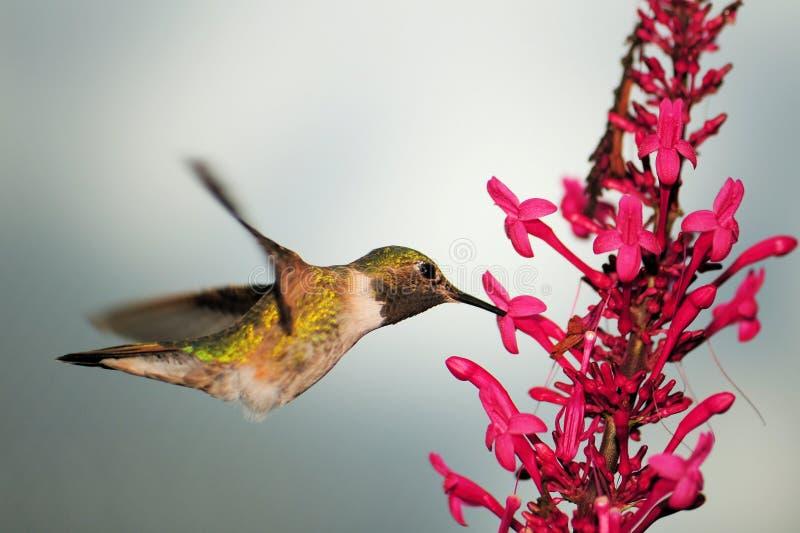 Kolibrie op Odontonema royalty-vrije stock foto's