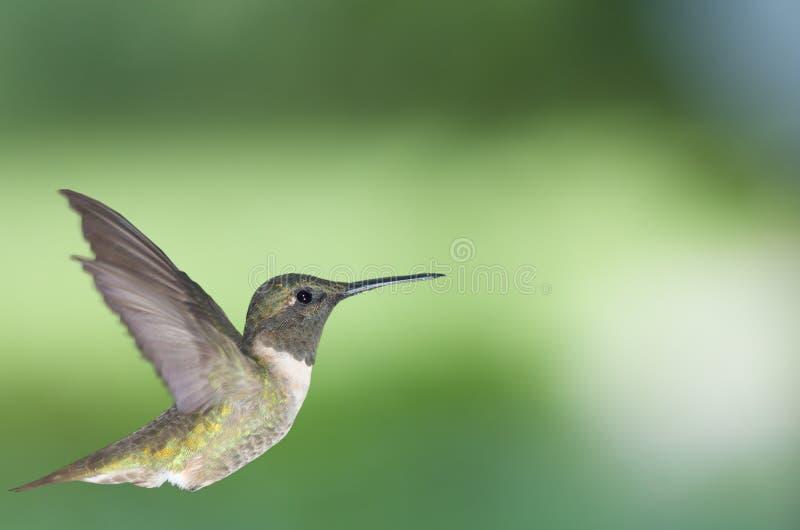 Kolibrie in profiel 2 stock fotografie