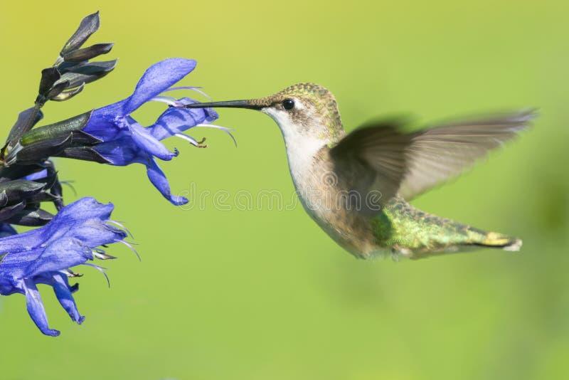 Kolibrie robijnrood-Throated stock afbeeldingen