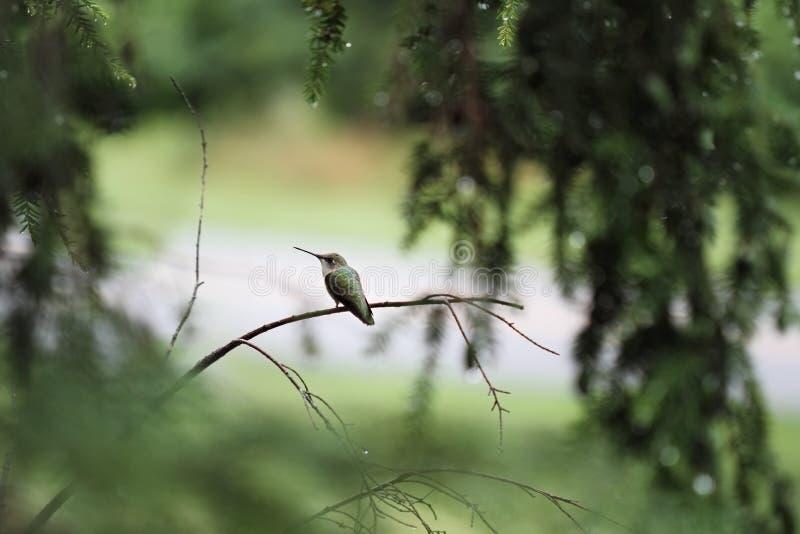 Kolibrie robijnrood-Throated stock foto