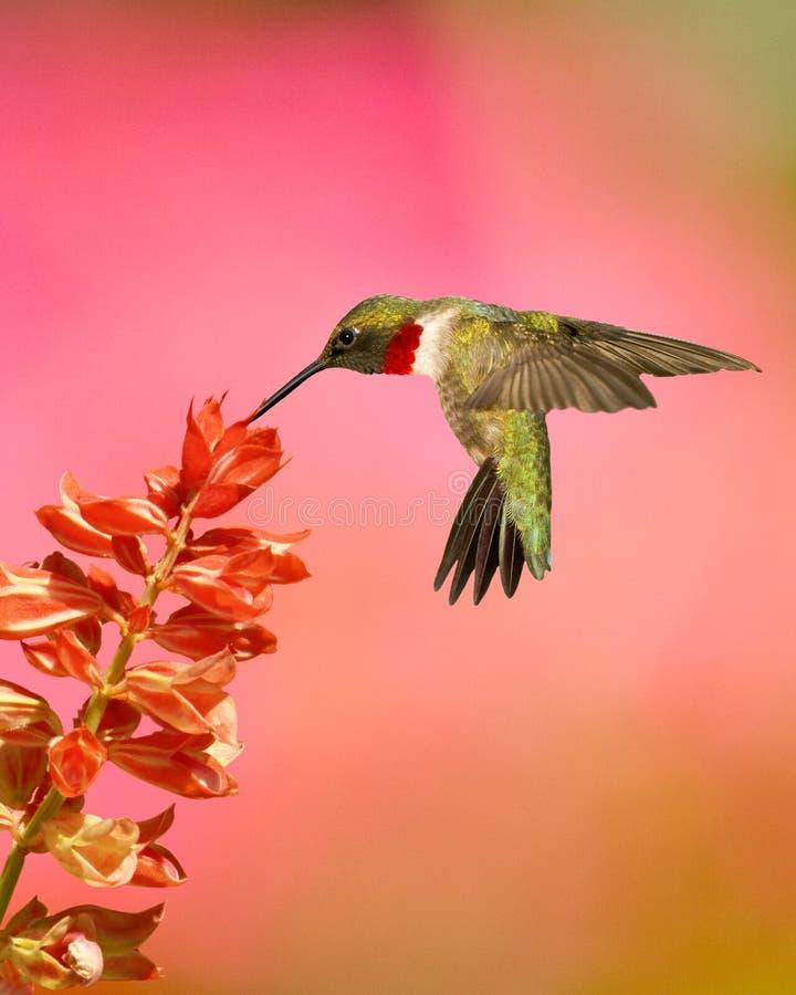Kolibrie robijnrood-Throated en Salvia stock foto