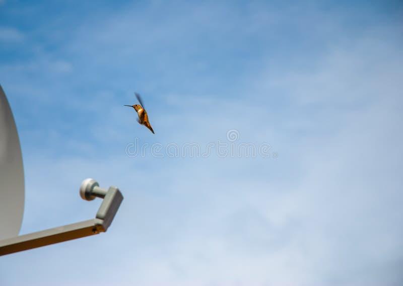 Kolibrie Satellietschotel stock afbeeldingen