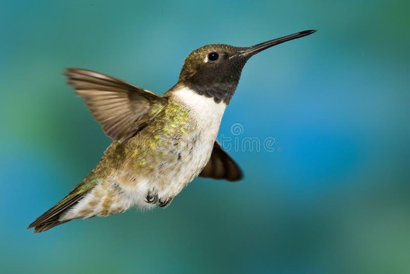 Kolibrie zwart-Chinned royalty-vrije stock foto's