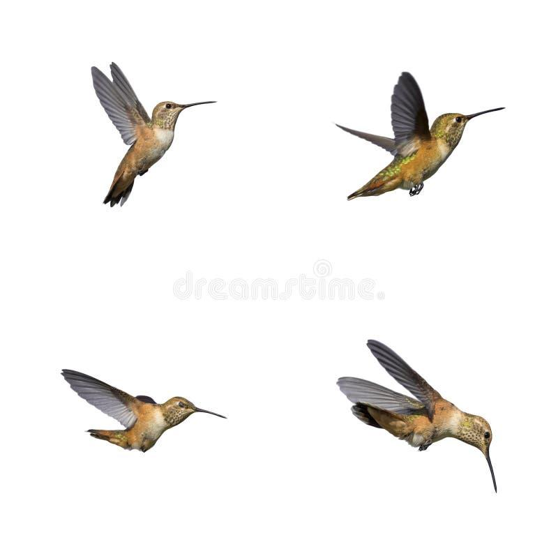kolibries stock afbeelding