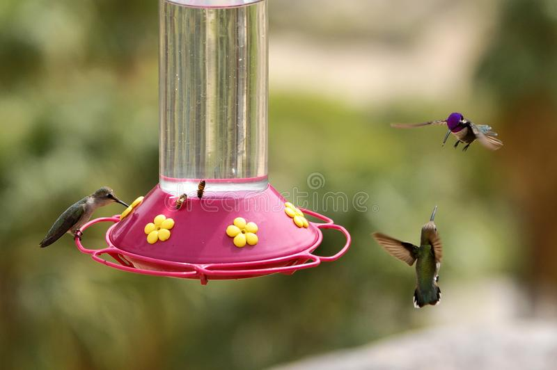 Kolibries bij de voeder, Palm Springs royalty-vrije stock afbeeldingen