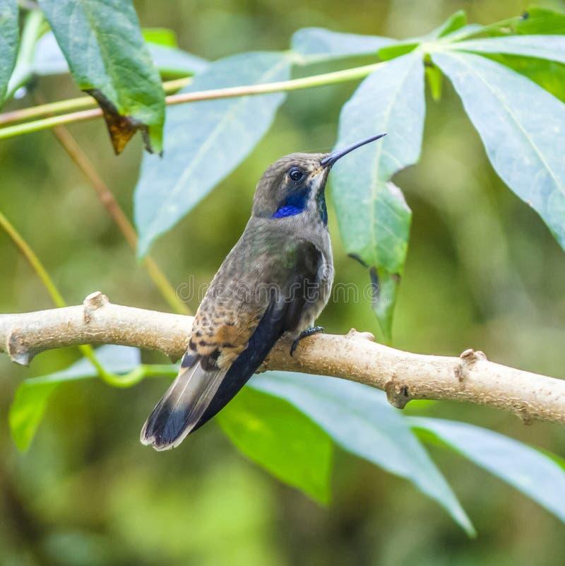 Kolibries in Brazilië stock foto's
