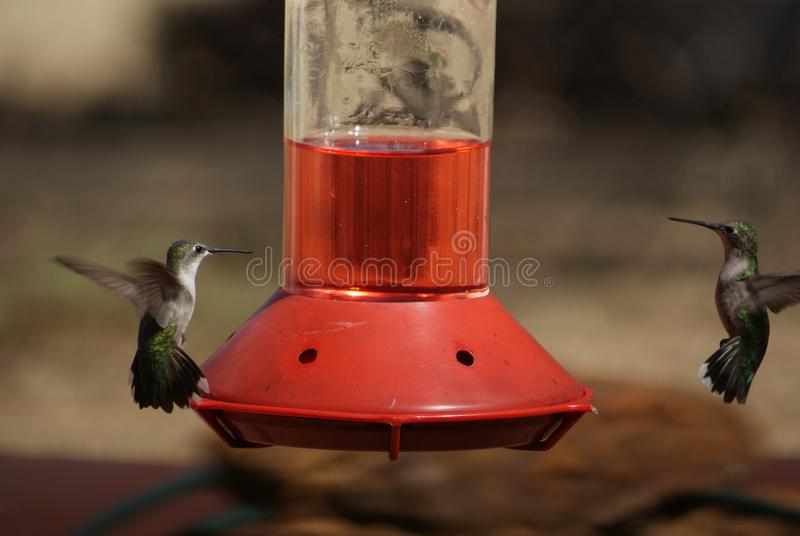 Kolibries die onderaan elkaar over een Voeder staren stock foto's