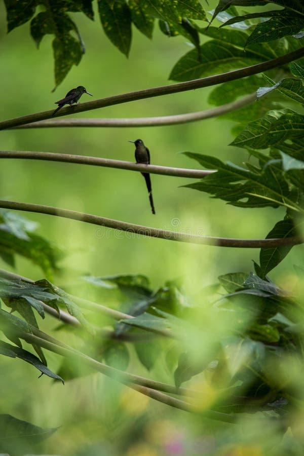 Kolibries die op takken van boom, kolibrie van tropisch regenwoud, Peru, vogel het neerstrijken zitten royalty-vrije stock foto's
