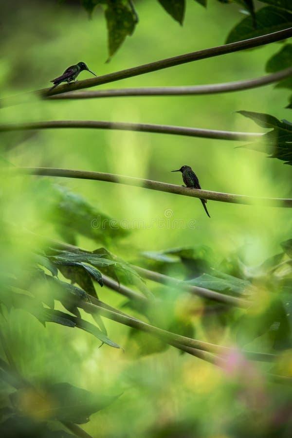 Kolibries die op takken van boom, kolibrie van tropisch regenwoud, Peru, vogel het neerstrijken zitten royalty-vrije stock foto