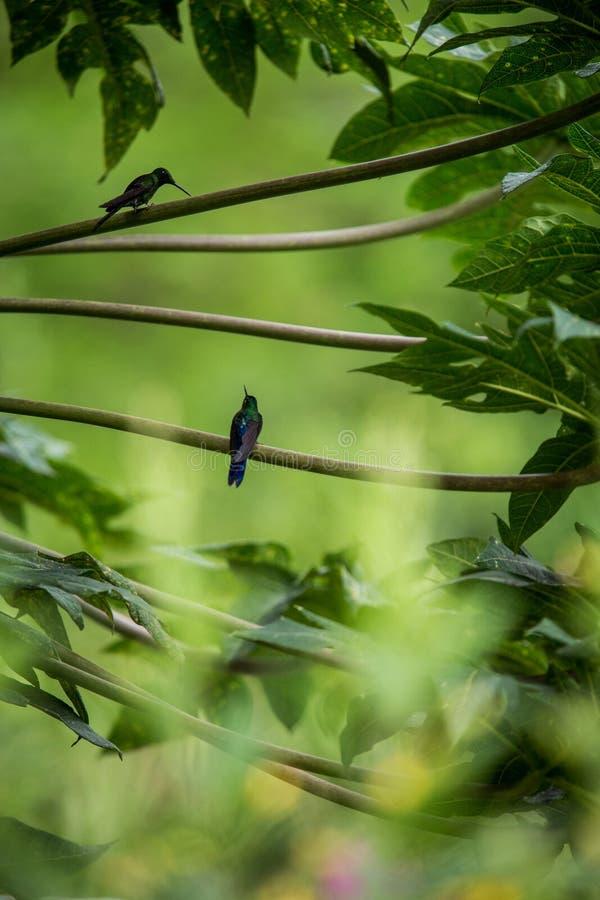 Kolibries die op takken van boom, kolibrie van tropisch regenwoud, Peru, vogel het neerstrijken zitten royalty-vrije stock afbeelding