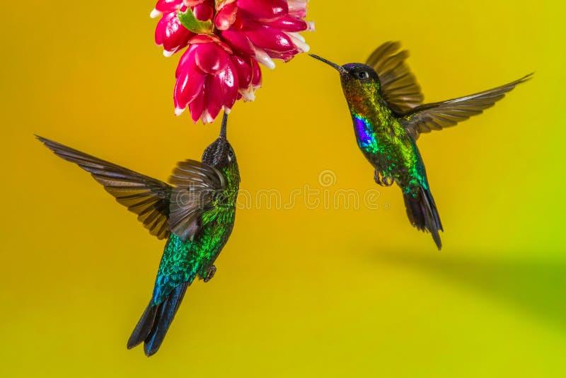 Kolibries en Bloem royalty-vrije stock foto's