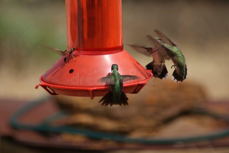 Kolibries op een Voeder met een Wesp die de Overkant houden royalty-vrije stock afbeelding