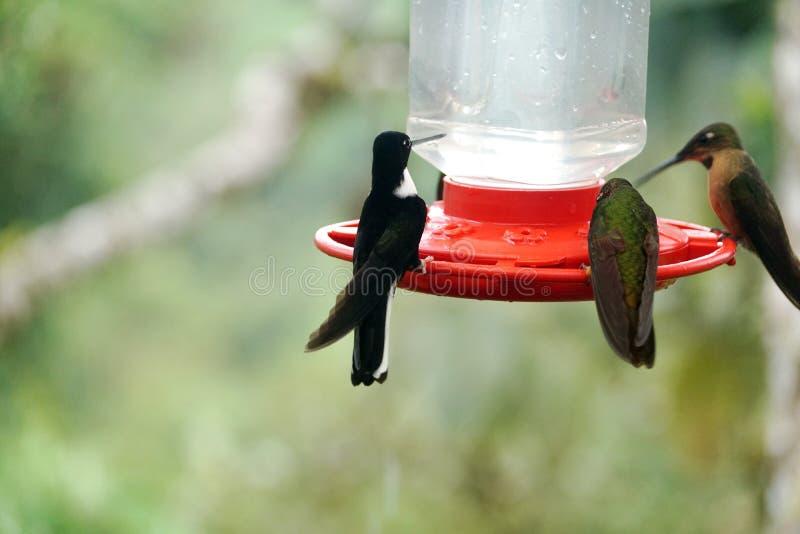 Kolibries op een voeder stock fotografie
