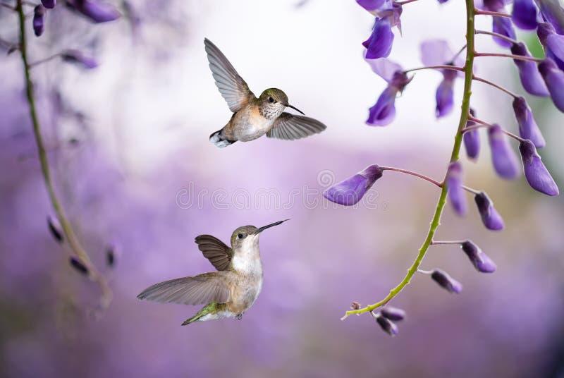Kolibries over achtergrond van purpere wisteria stock afbeeldingen