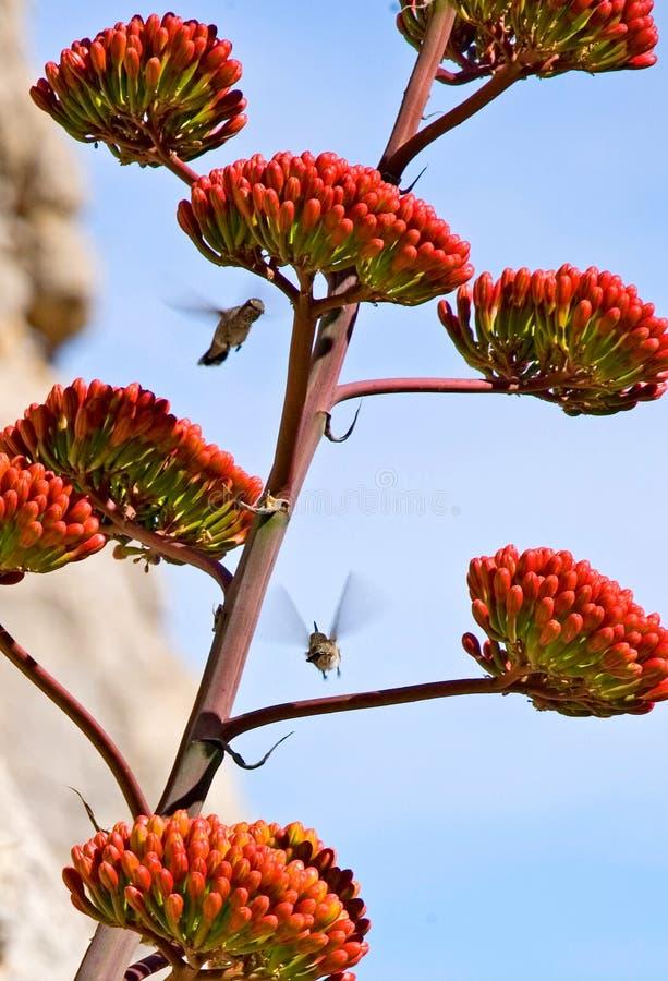Kolibries rond een Bloei van de Agave stock afbeelding