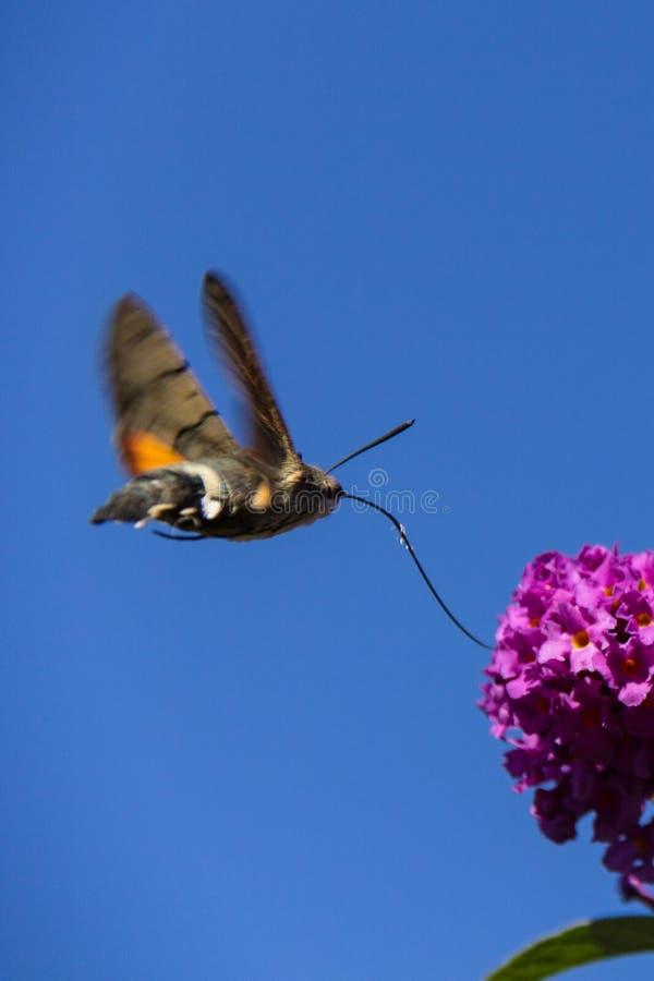 Kolibrihök-mal arkivbild