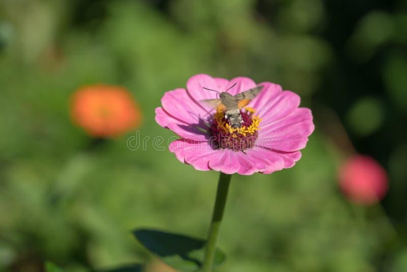 KolibriHök-mal Macroglossum stellatarum arkivfoto