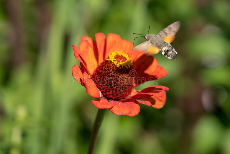 KolibriHök-mal Macroglossum stellatarum royaltyfria bilder