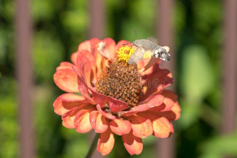 KolibriHök-mal Macroglossum stellatarum royaltyfri foto
