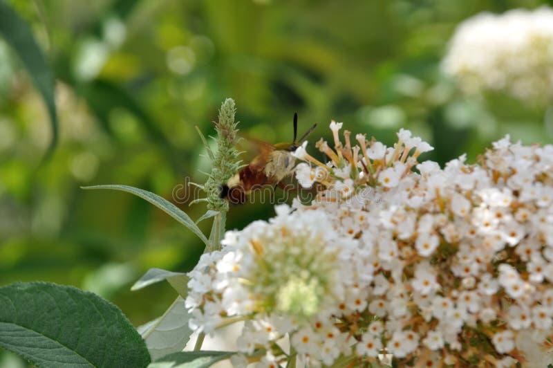 Kolibrihök-mal på en blomma arkivbilder