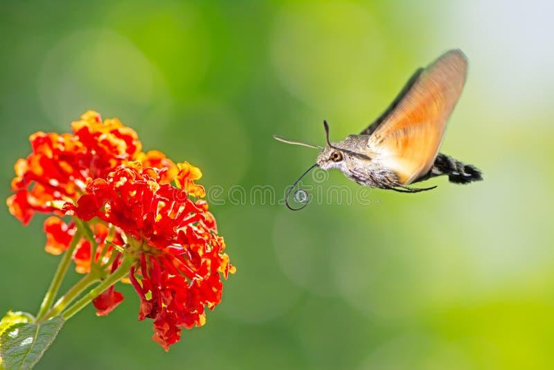 Kolibrihök-mal som flyger till en lantanablomma arkivfoto