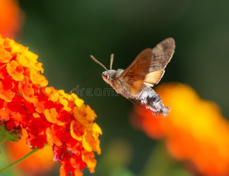 Kolibrihök-mal som flyger till en lantanablomma royaltyfria foton