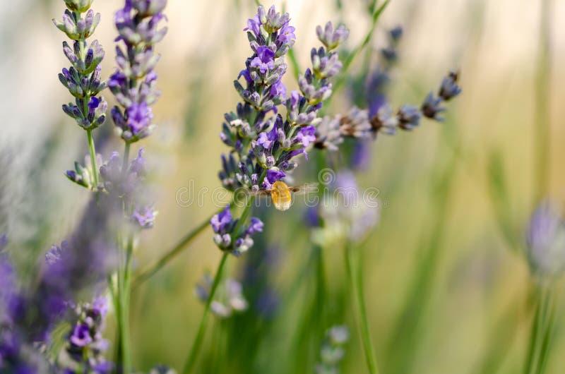 Kolibrihök-mal som svävar över en lavendelblomma, Macrogl royaltyfri foto