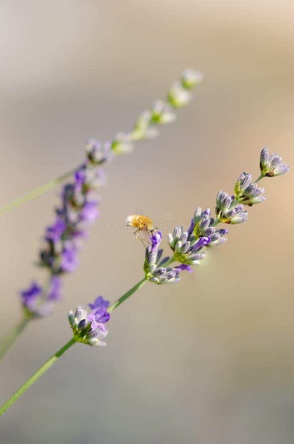 Kolibrihök-mal som svävar över en lavendelblomma, Macrogl royaltyfri fotografi