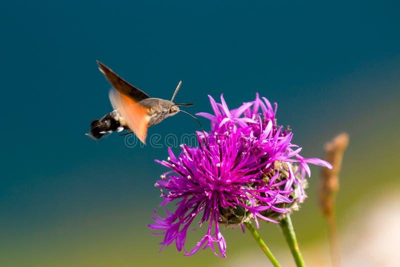 Kolibrihökmal som i flykten tar nektar från blommor arkivbild