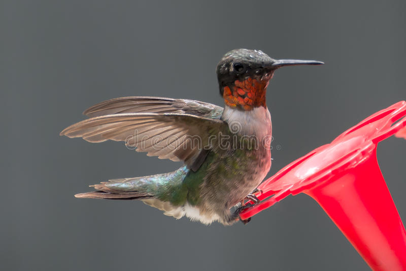 Kolibriländer för lunch royaltyfria foton