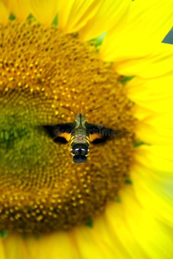 Kolibrimotte und -sonnenblume stockbilder