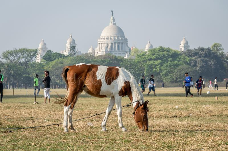 A horse grazing at Maidan, the largest open playground in Kolkata Calcutta, West Bengal, India royalty free stock images