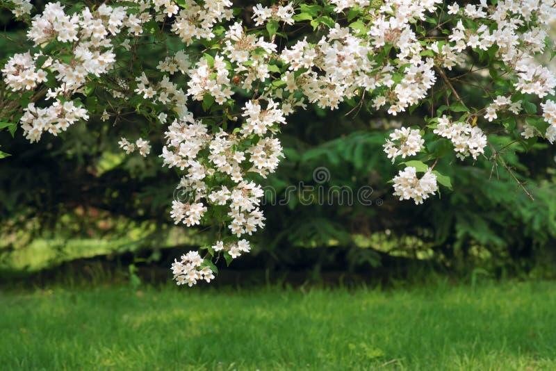Kolkwitziabloemen royalty-vrije stock afbeeldingen