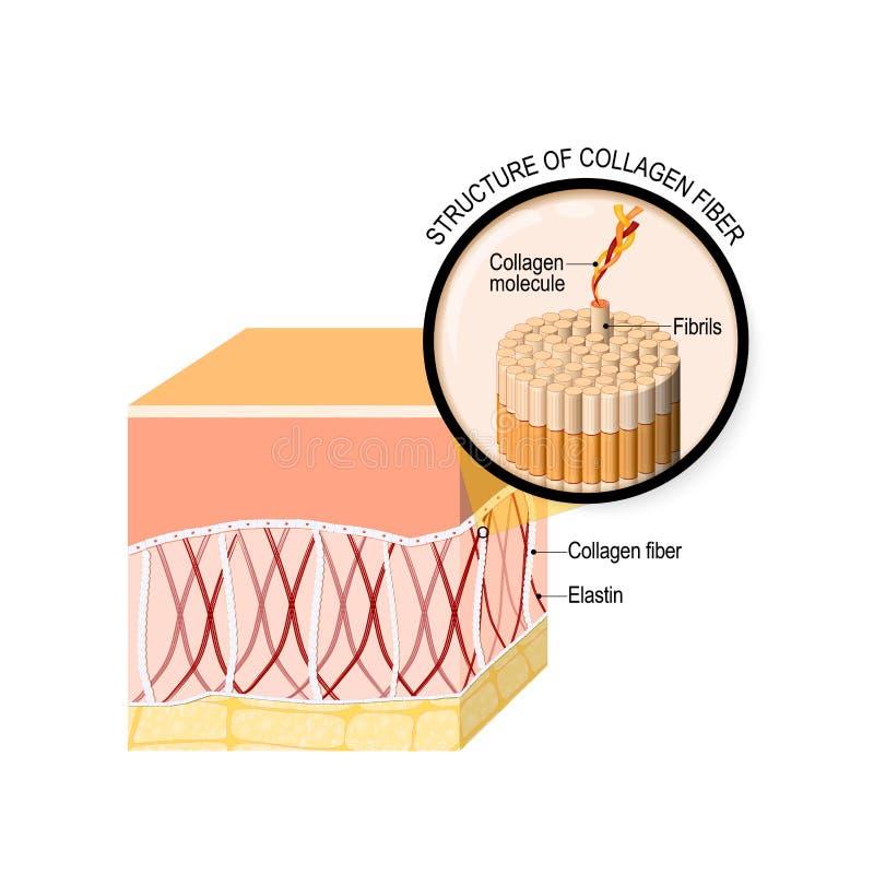 Kollagenfasern in einer Haut Nahaufnahme des Kollagenmoleküls vektor abbildung