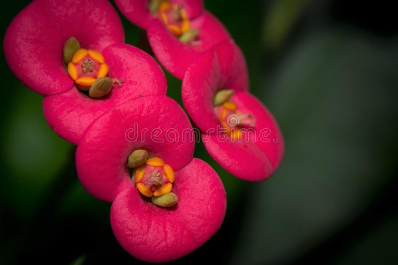 Closeup image of Crown of thorns stock photos